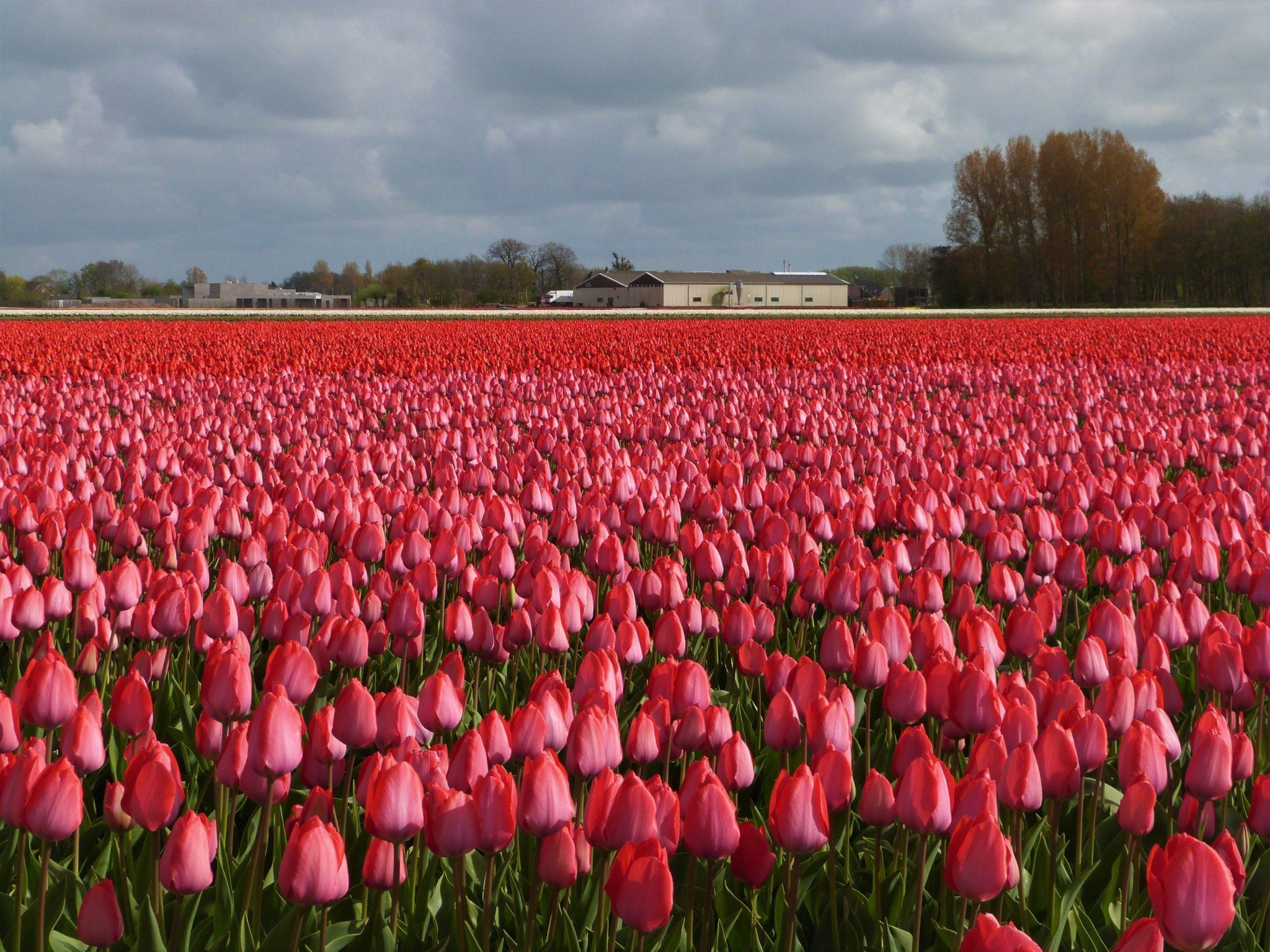 hubertine langemeijer roze tulpen in lisse